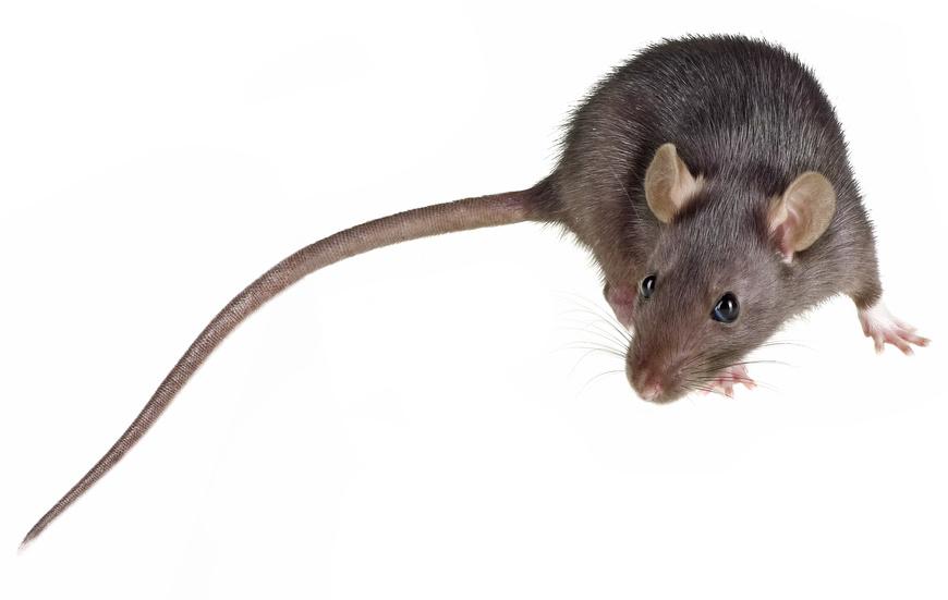 Lutter contre les souris dans la maison lutter contre des rats et des souris fiche technique - Solution radicale contre les souris ...
