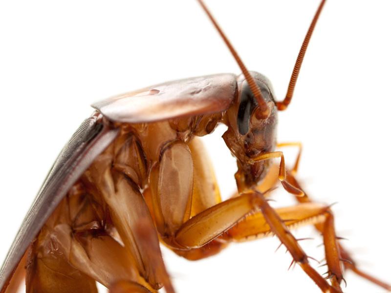 la blatte germanique cafard traitement contre les blattes. Black Bedroom Furniture Sets. Home Design Ideas