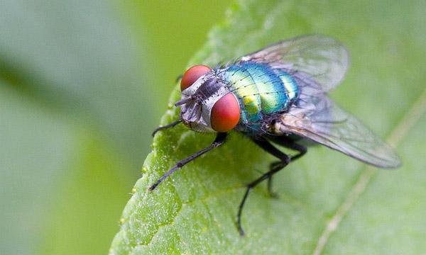 Les insectes volants solution et traitement - Mouche jaune et noire ...