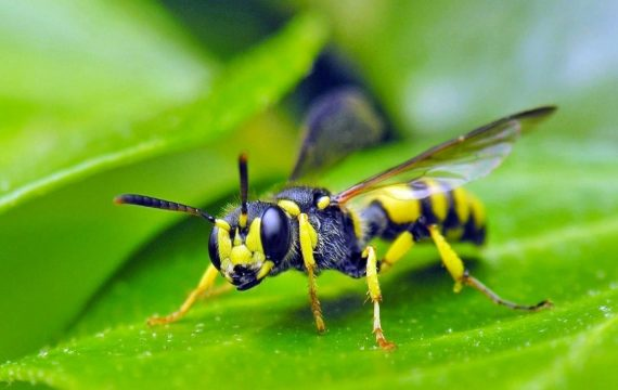 lutte contre les gu pes et abeilles loigner les gu pes. Black Bedroom Furniture Sets. Home Design Ideas