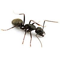 Fourmis Charpentières – Camponotus pennsylvanicus