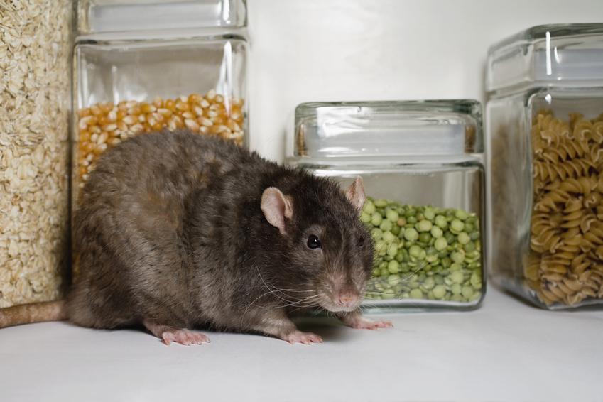 comment se dbarrasser des rats dans une maison latest rats with comment se dbarrasser des rats. Black Bedroom Furniture Sets. Home Design Ideas