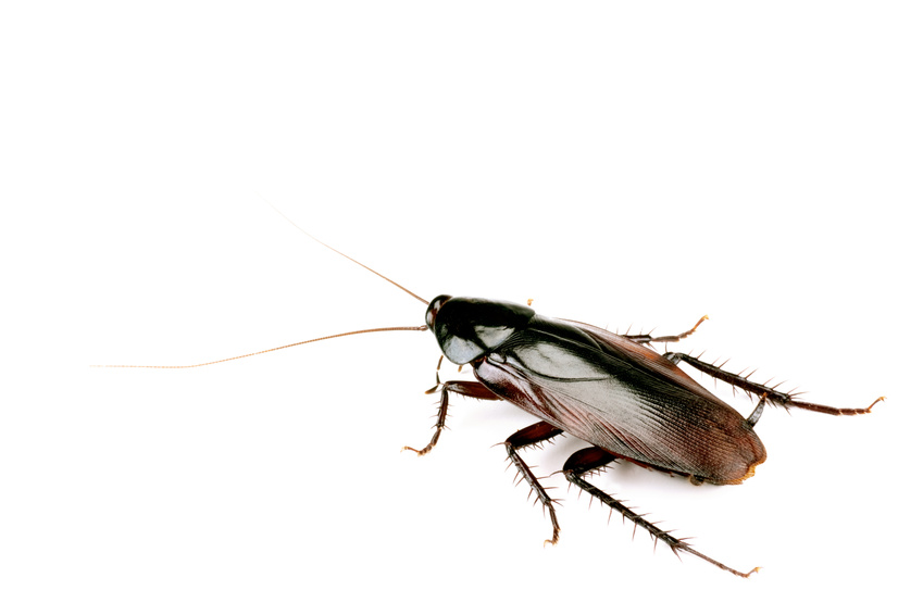 cockroach isolated on white body length 50mm. Black Bedroom Furniture Sets. Home Design Ideas