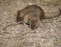 Les rats prolifèrent à Bruxelles