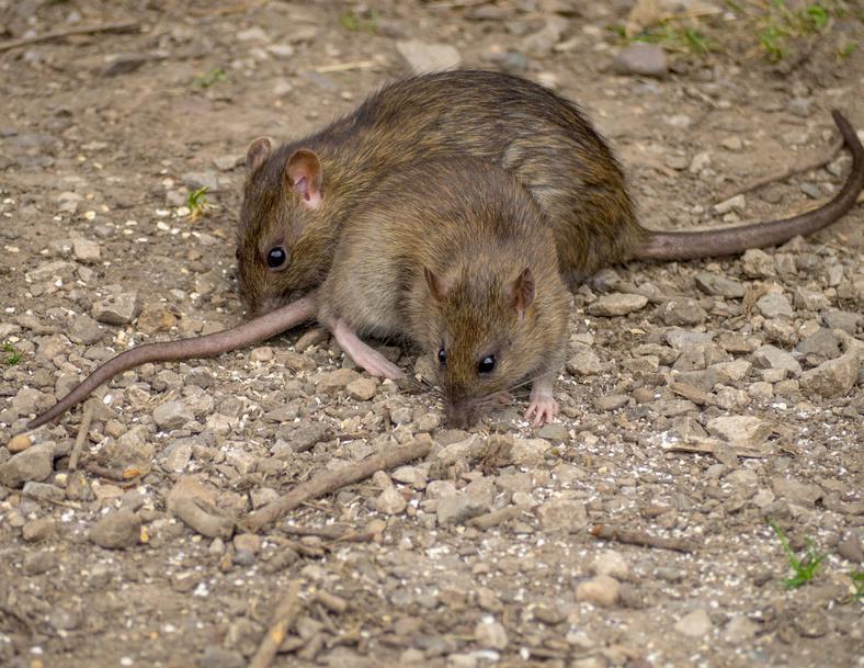 rats bruns dans une cour extérieur