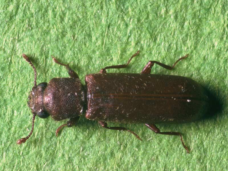 Parasites du bois maison segu maison for Insecte du bois maison