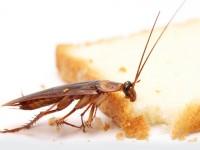 Les cafards – blattes