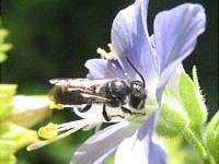 L'abeille solitaire sur la région Bruxelles