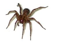 L'araignée domestique