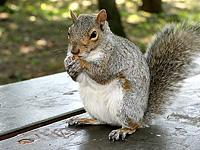 L'Ecureuil gris