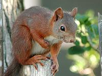 L'ecureuil roux