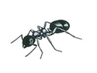 La fourmi de jardin
