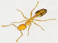 les fourmis pharaons