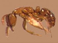 La fourmi surponctuée
