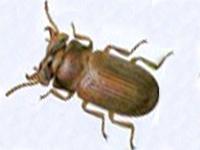 Insectes de stockage Le gnatocerus cornutus