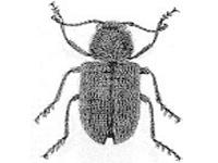 Korynetes caeruleus