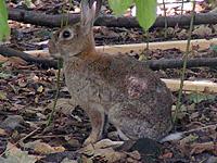 Le lapin européen