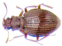Le lathridiidae