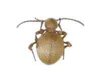Le niptus doré