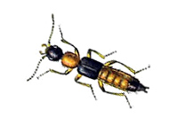 Insectes de stockages Le Staphylin