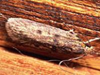 Le teigne des semences