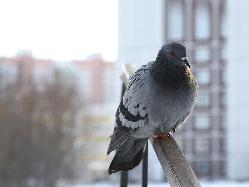 Zoom pigeon