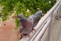 Préventions contre les pigeons