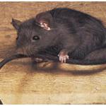 Lutte contre Le rat noir