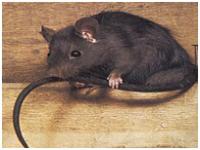Le rat noir – Rattus rattus