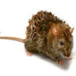 Le Rat brun